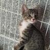 野良猫が産んだ可愛いキジの仔猫です