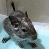 生後2ヶ月のデグーマウス 女の子