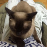 ネグレストから解放されたシャム系猫、チャーコくん サムネイル6