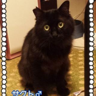 貫禄ありありの半長毛黒猫