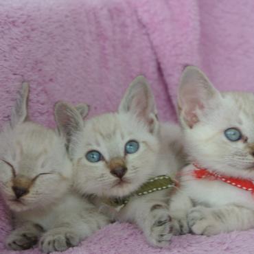 そっくりなシャム猫兄弟姉妹