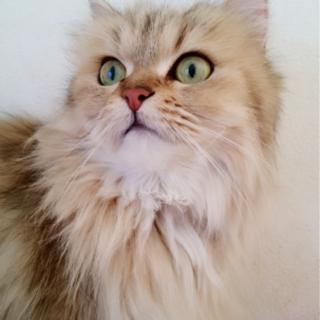 ふわふわで、長毛な猫ちゃん