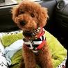 トイプードル8ヶ月成犬