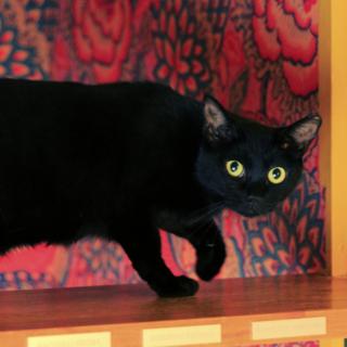 とってもキレイな黒猫のペッペちゃん