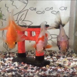 琉金、他、金魚5匹