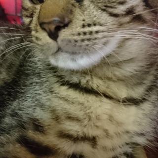 チーターの子供みたいな可愛いキジ子猫ゆーくん!!