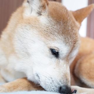 飼い主飼育放棄  柴犬13歳 5キロ小さめ