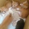 生後1か月半5匹の子猫里親募集