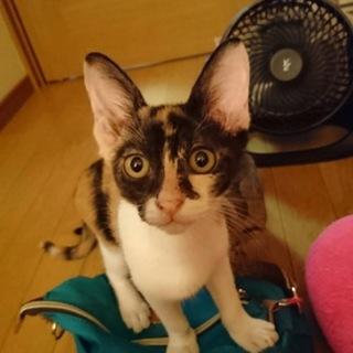 生後6ヶ月三毛猫お茶目な柄の女の子