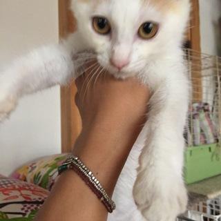 茶白可愛い仔猫甘えた男の子