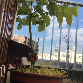 生後9ヶ月程の黒鶏(品種名 ネラ)♂二羽です