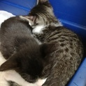 ハチワレ子猫 1.5ヶ月齢