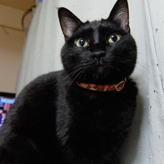 控えめで大人しい黒猫、千重ちゃん