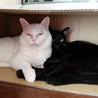 控えめで大人しい黒猫、千重ちゃん サムネイル7