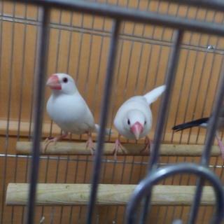白文鳥  桜文鳥 雄