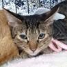 ちょこまか元気なサバ子猫チーコちゃん!