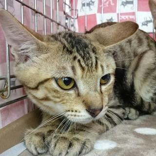 にらみ目も可愛いサバ子猫の調布代表くん!