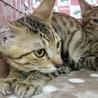 にらみ目も可愛いサバ子猫の調布代表くん! サムネイル2