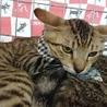 にらみ目も可愛いサバ子猫の調布代表くん! サムネイル3