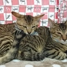 にらみ目も可愛いサバ子猫の調布代表くん! サムネイル4