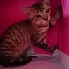 にらみ目も可愛いサバ子猫の調布代表くん! サムネイル5