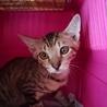 にらみ目も可愛いサバ子猫の調布代表くん! サムネイル6
