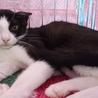 おとなしいけど遊ぶの大好き白黒仔猫のお米くん! サムネイル4