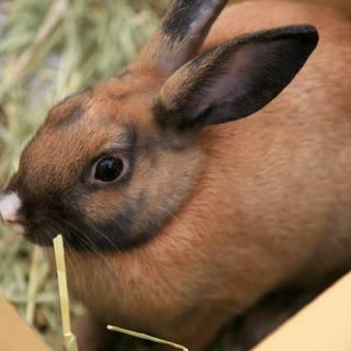 まだ子うさぎの元気なミニウサギ、ピノ子ちゃん♀