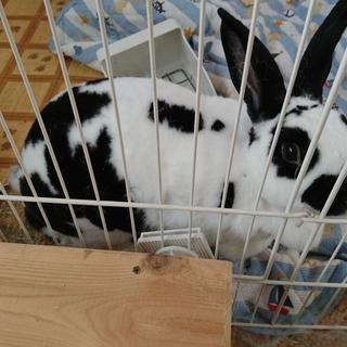 人になつきやすいウサギです。