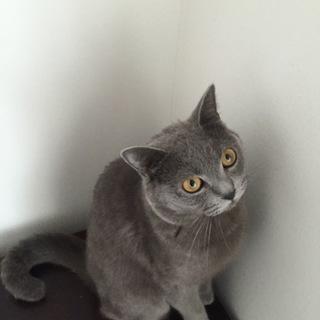 甘えん坊で活発なブリティッシュショートヘアのオス猫