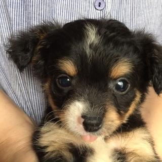 子犬 チワプー Mix