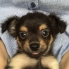 子犬 チワプー ※キャンセルのため再募集です※