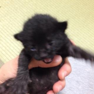 生後一週間位の黒縞のネコちゃんです