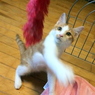 遊び大好き 猫も人間も好き! 生後4か月半去勢済み
