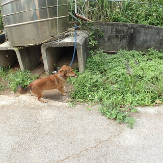 めっちゃかわいい沖縄島犬 短足少し胴長