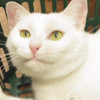 イケメン白猫さん