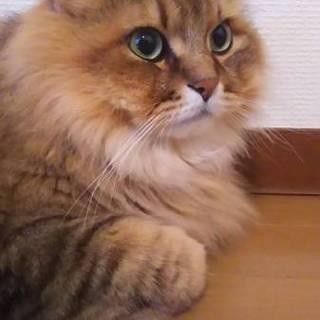 甘えん坊な長毛ペルシャMIX 6歳