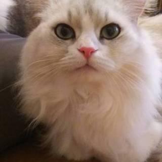 美人な長毛ペルシャMIX 6歳