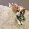 犬が大好きな方!!生後8か月のビーグル犬です!