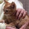2か月 胸キュンの茶トラの子猫