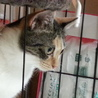 愛くるしい三毛猫と暮らす/推定2歳 サムネイル4