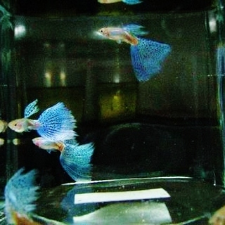 国産グッピー ブルーグラス 幼魚20匹