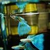 国産グッピー ブルーグラス 幼魚20匹 サムネイル2