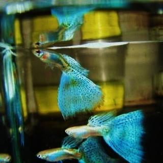 国産グッピー ブルーグラス 成魚2ペア