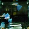 国産グッピー ブルーグラス 成魚2ペア サムネイル3