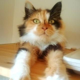 落ち着いた成猫です