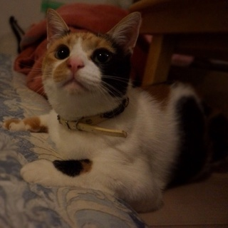 小柄な甘えん坊の三毛猫きみちゃん