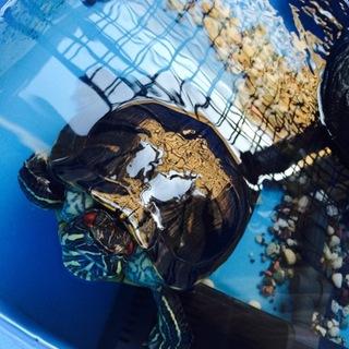 ミドリガメのガメラちゃんです