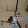 三毛猫メス生後2ケ月 とても馴れています
