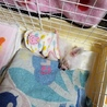 生後3、4ヶ月チワワメス保護